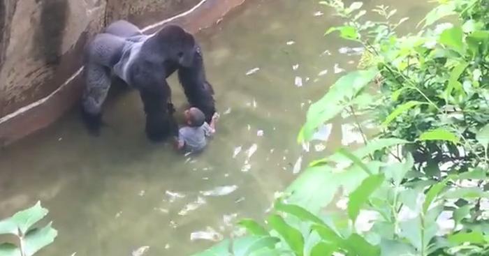 Un petit garçon tombe dans l'enclos d'un gorille: Une ...