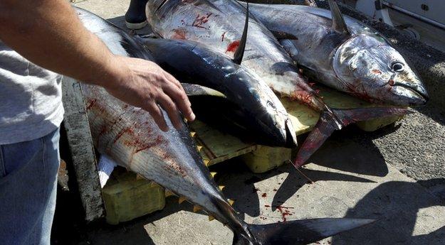 Saisie d'une importante quantité de thon rouge à Monastir Rougethon