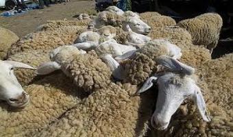 Les prix de vente du mouton de l'Aïd fixés par le ministère de l'Agriculture
