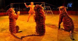 Des chats et chiens vendus aux tigres d un cirque italien à Ras Jebel: La mairie dément !